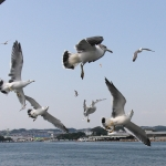 Matsushima seagulls fighting for food