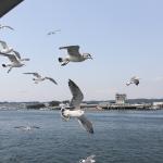 Matsushima seagulls following cruise