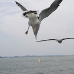 Matsushima seagull diving for food
